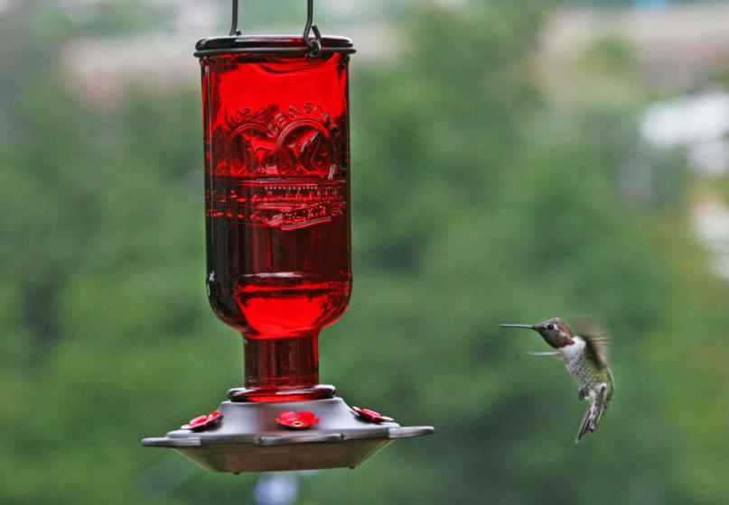 Hummingbird drinking from a feeder, McDonald Garden Center
