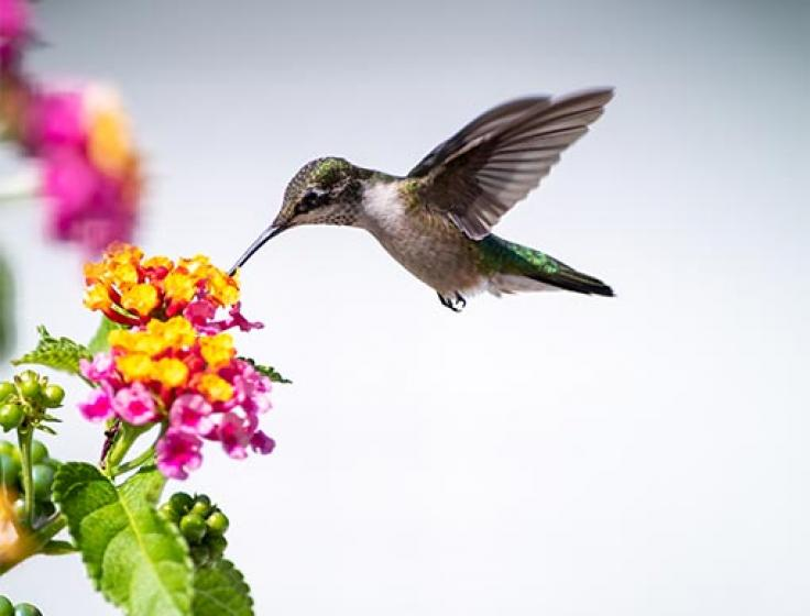 Hummingbird drinking from a Lantana flower, McDonald Garden Center