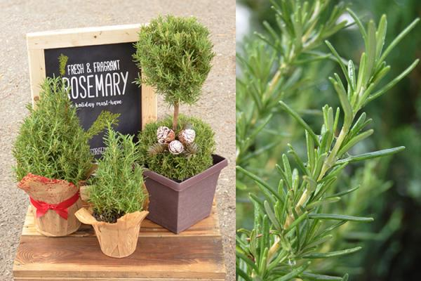 Rosemary Topiaries