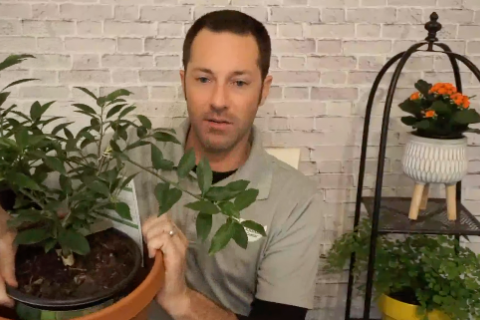 How to Grow Citrus Video Frame